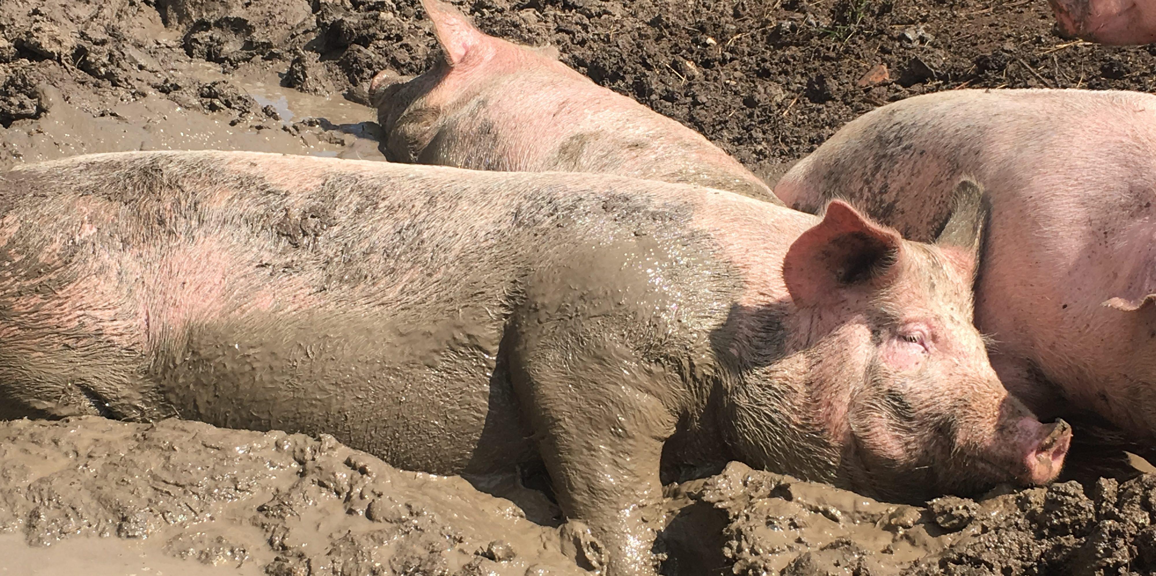 Domaine de Bellecour, les cochons
